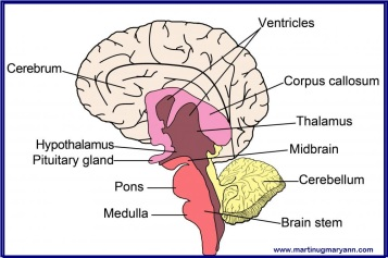 diagram-of-human-brain