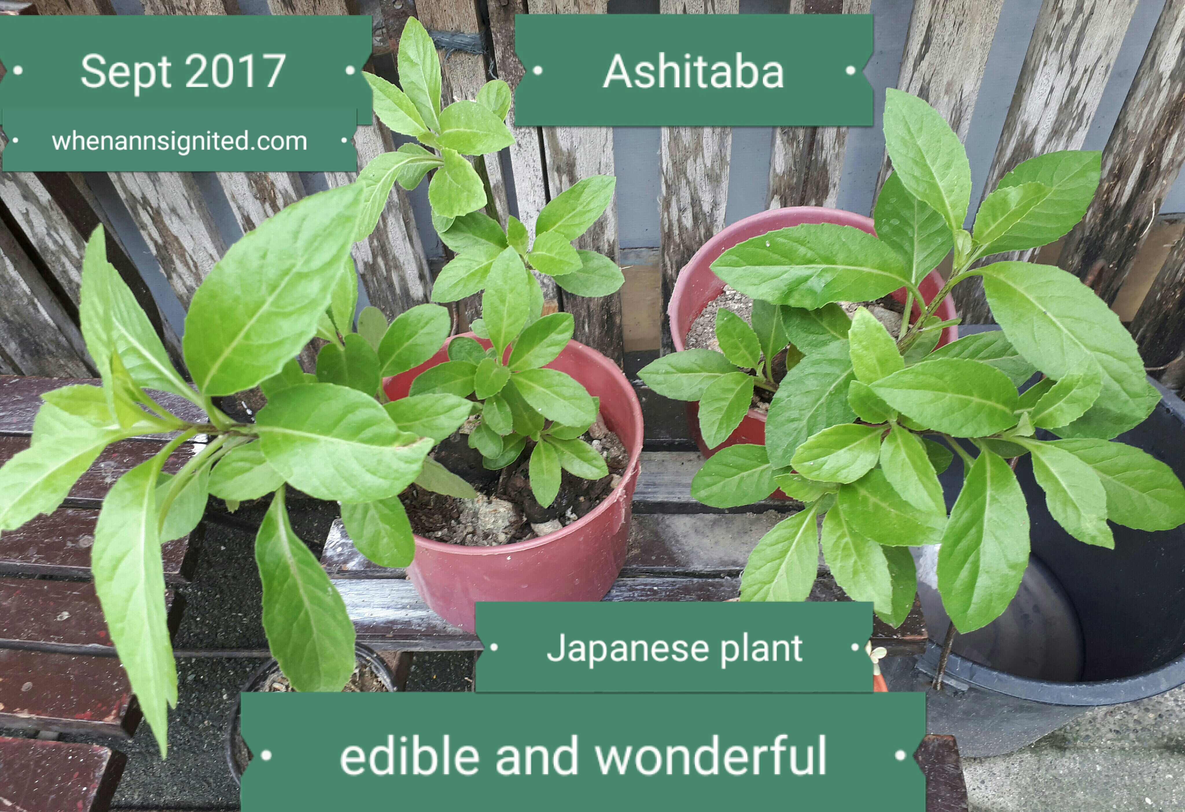 how many ashitaba leaves to eat daily