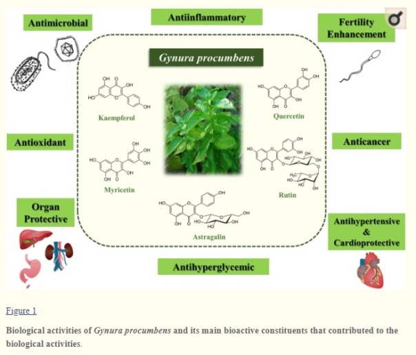 gynura procumbens longevity spinach